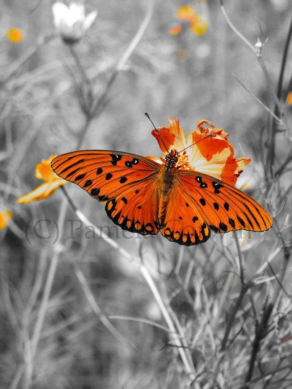 Black and white butterfly picture with a pop of orange monarch on orange wildflower gulf fritillary