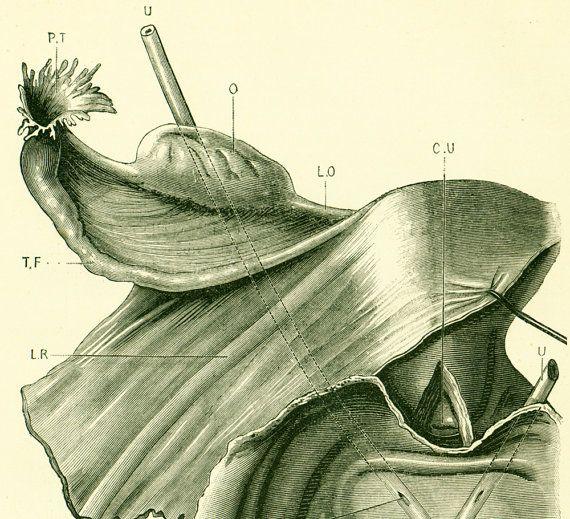 1897 Womb vagina and bladder at the woman Human Anatomy Original ...