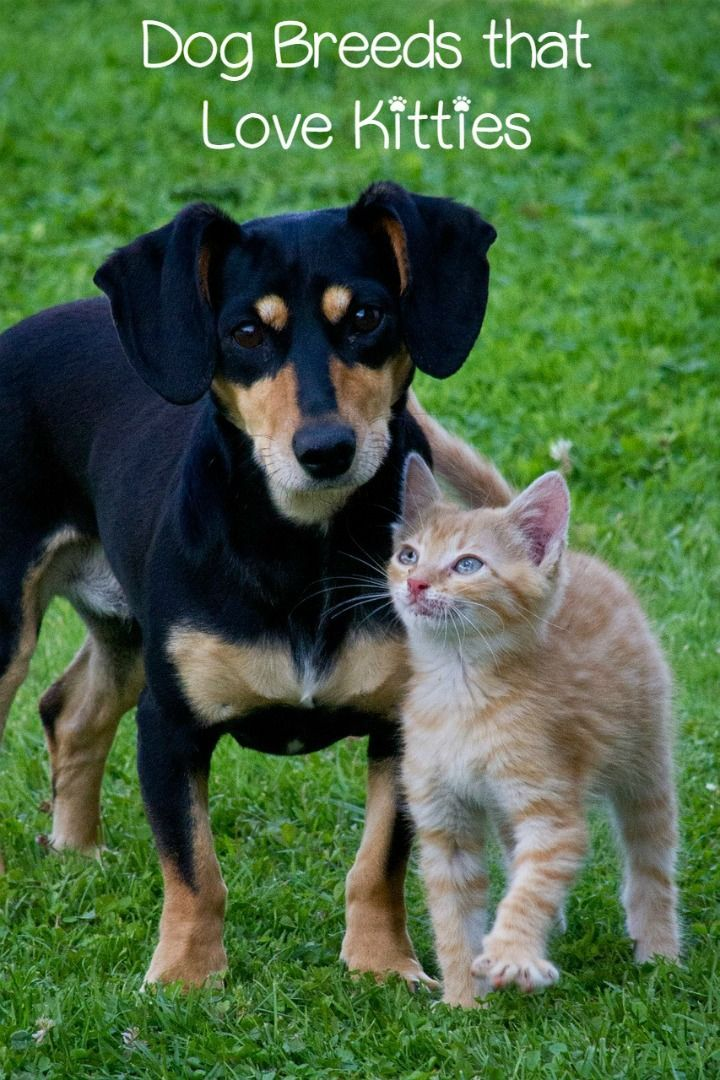 Top Dog Breeds That Get Along With Cats Top Dog Breeds Pets Dog Cat