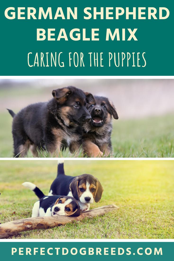 German Shepherd Beagle Mix Puppies In 2020 German Shepherd Beagle Mix Beagle Mix Puppies Beagle Mix