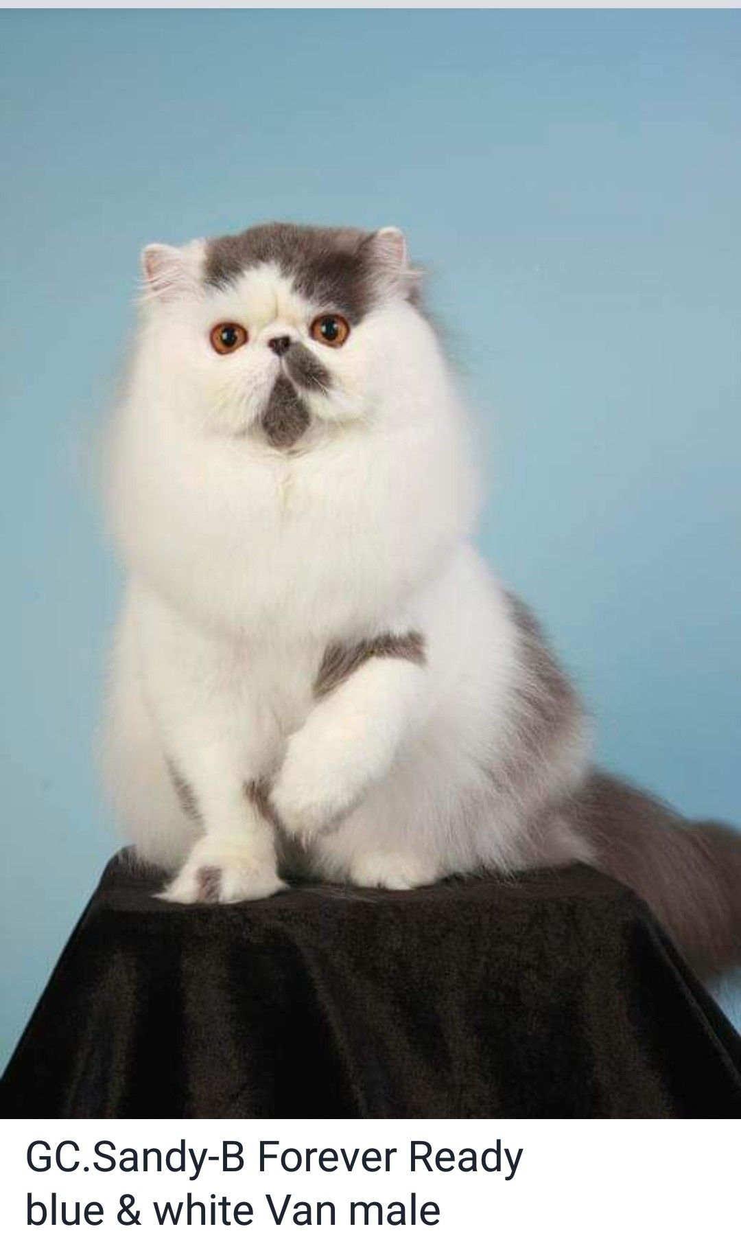 Pin By Ellen Burch On Persian Persuasion Cats And Kittens Fluffy Cat Persian Cat