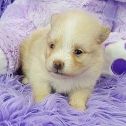 Pomeranian puppies for sale Pomeranian breeder Impressivepom.com Pomeranian puppy for sale orange Pomeranian puppy  for sale teacup Pomeranian for sale Impressive Pomeranians 417-463-7091 #teacuppomeranianpuppy Pomeranian puppies for sale Pomeranian breeder Impressivepom.com Pomeranian puppy for sale orange Pomeranian puppy  for sale teacup Pomeranian for sale Impressive Pomeranians 417-463-7091 #teacuppomeranianpuppy