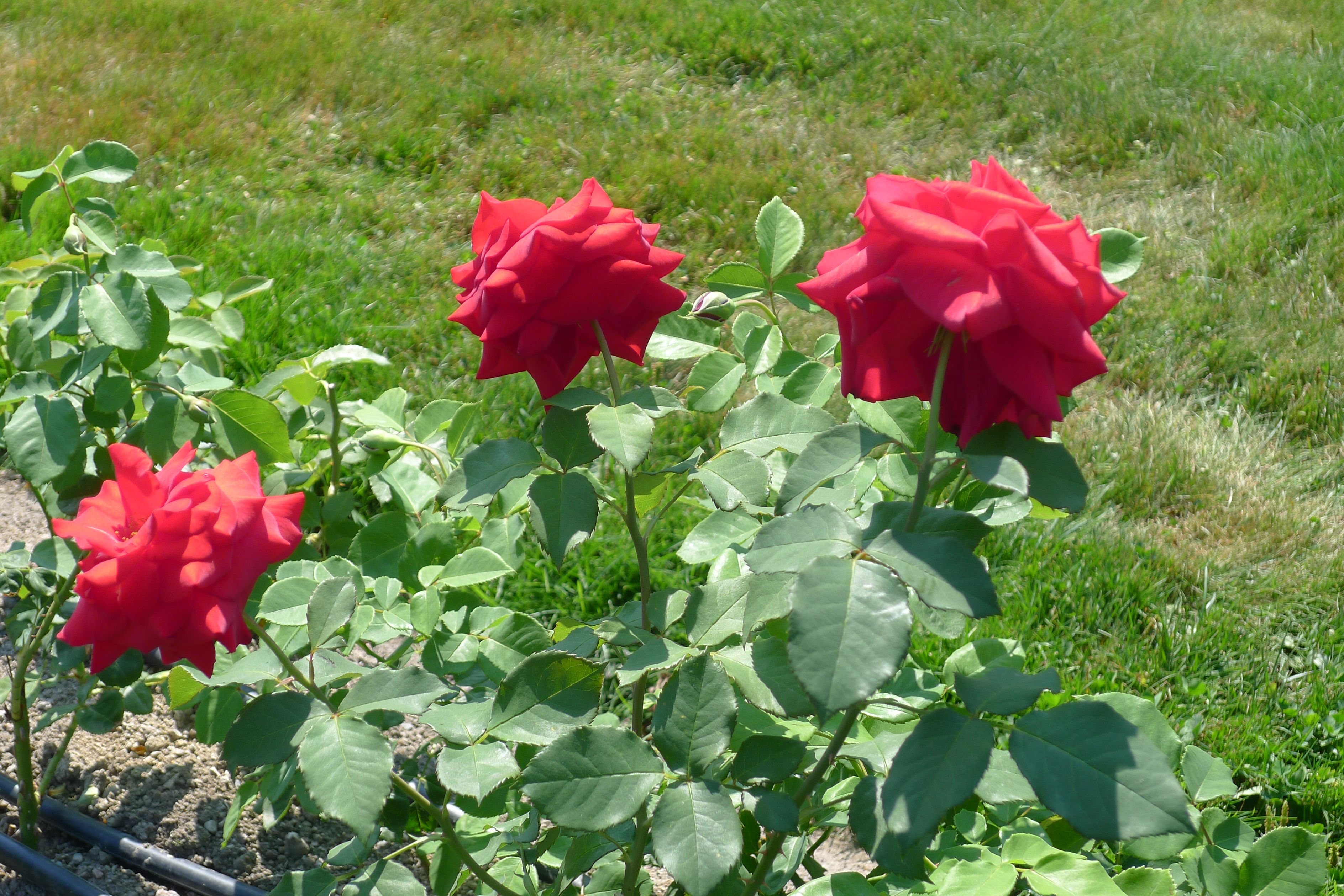 leonora christine rose