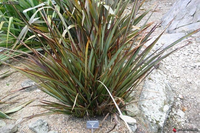 Phormium Tom Thumb Garden Beds Garden Plants