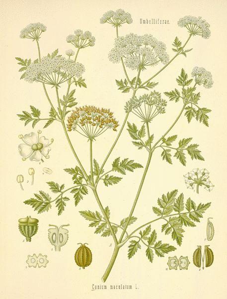 hemlock-poison18-l.jpg (457×600)