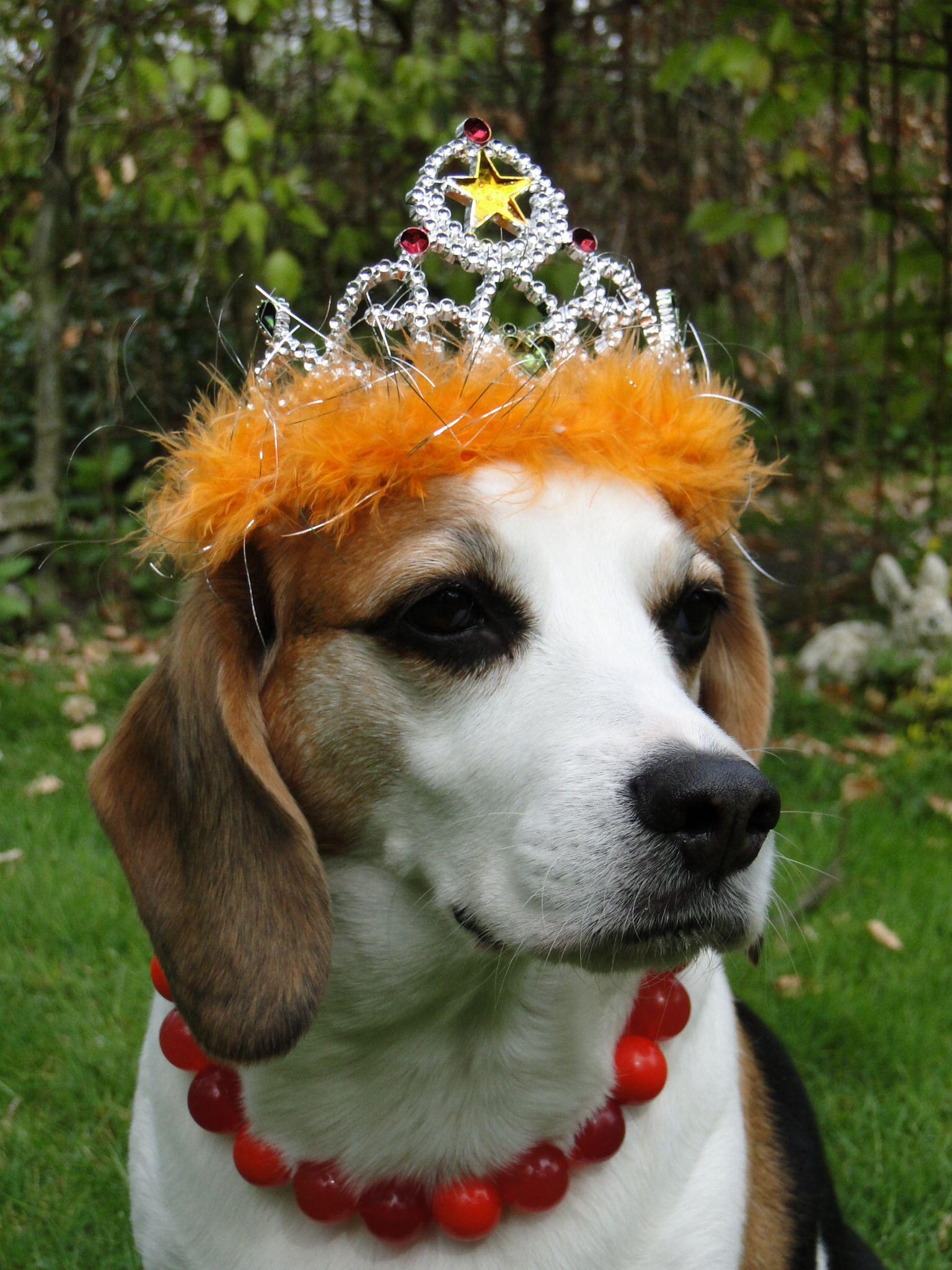 Queen Bibi The Beagle
