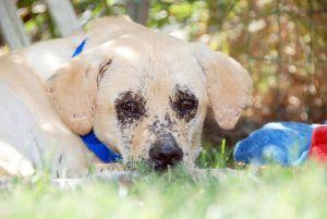 Lab/pug mix Labrador retriever dog, Retriever dog