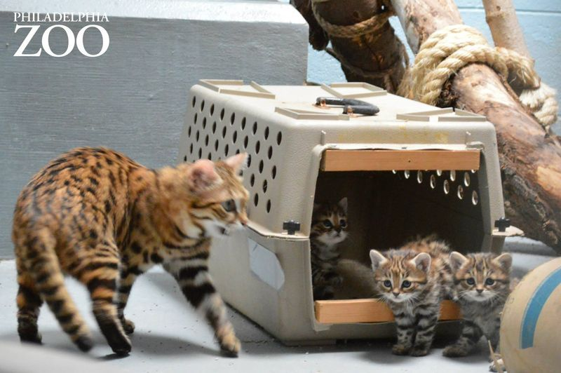 Philly Zoo S First Ever Black Footed Cat Kittens Are Thriving With Images Black Footed Cat Kittens Philadelphia Zoo