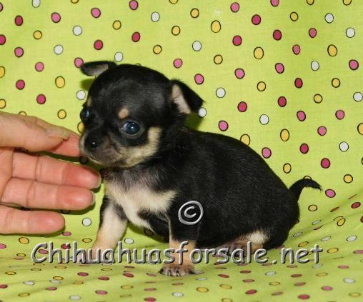 Ryker Black And Tan Chihuahua Looks Like Mini Rottweiler