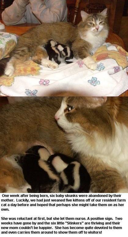 Cat Nursing Skunks Snopes Com Cuddly Animals Cute Baby Animals Unusual Animal Friends