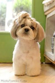 Resultado De Imagen Para How To Groom A Female Shih Tzu Shih Tzu Shih Tzu Puppy Shih Tzu Haircuts