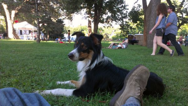 Beautiful English Shepherd for an active family or