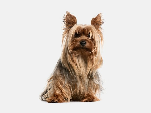 Only 1 In 10 Real Dog Lovers Can Recognize All Of These Dog Breeds Silky Terrier Terrier Puppies Real Dog
