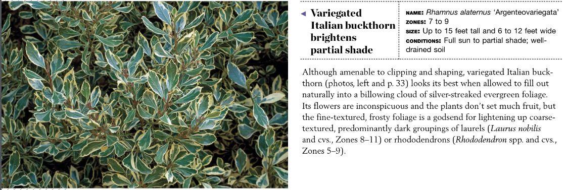 Variegated Italian Buckthorn Garden Shrubs Winter Garden Variegated