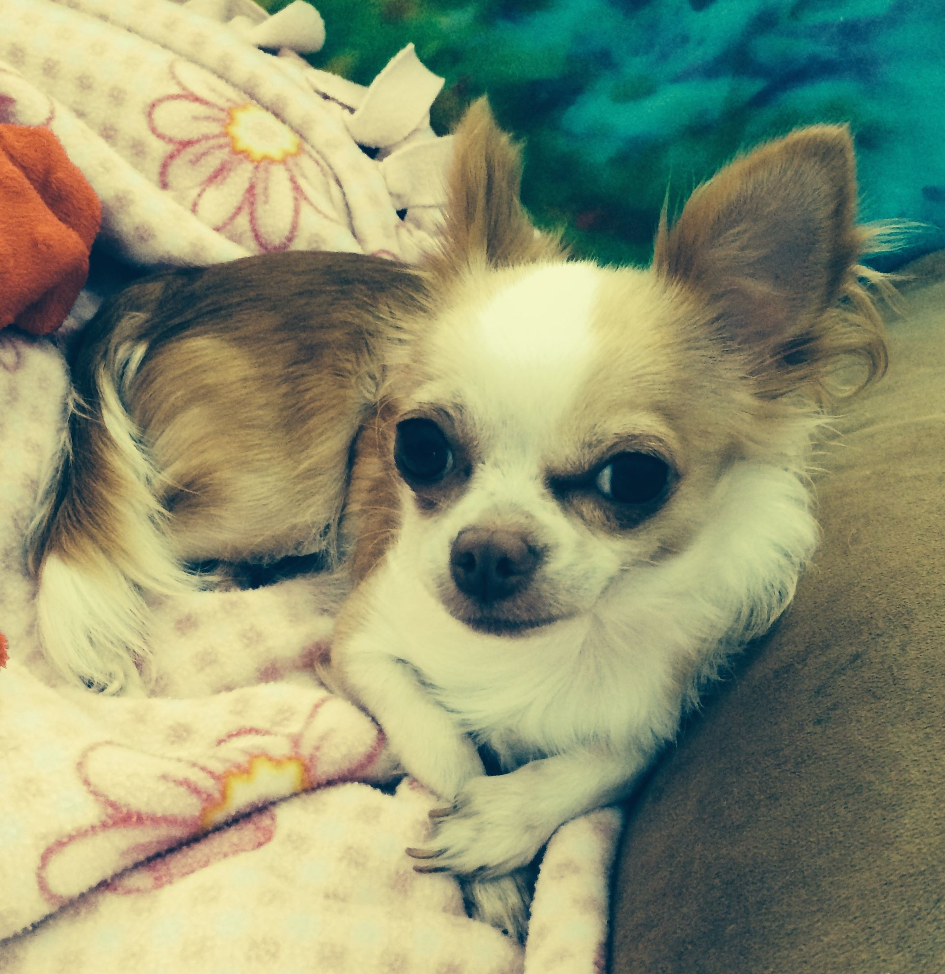 Chihuahua Sitting Like A Lady Ms Bella Elizabeth With Images
