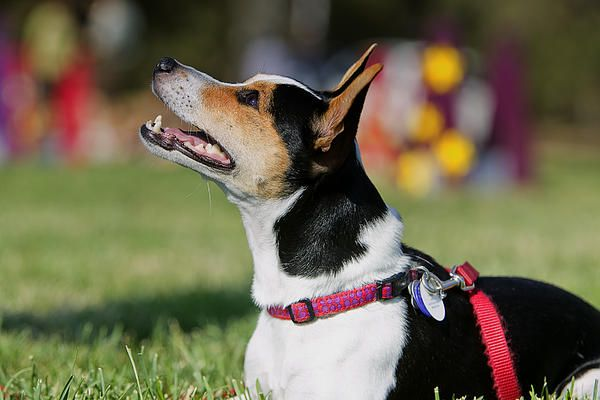 #Ratterrier Bebe, #animals, #pets, #dogs
