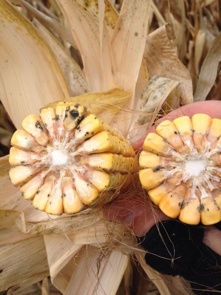 Corn mold kelsey mussman plant