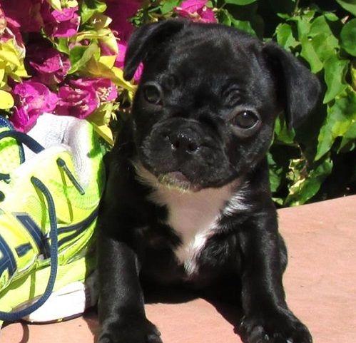Pin By Robert Escoto On Pug Mixed Breeds Cute Animals Pug Mixed