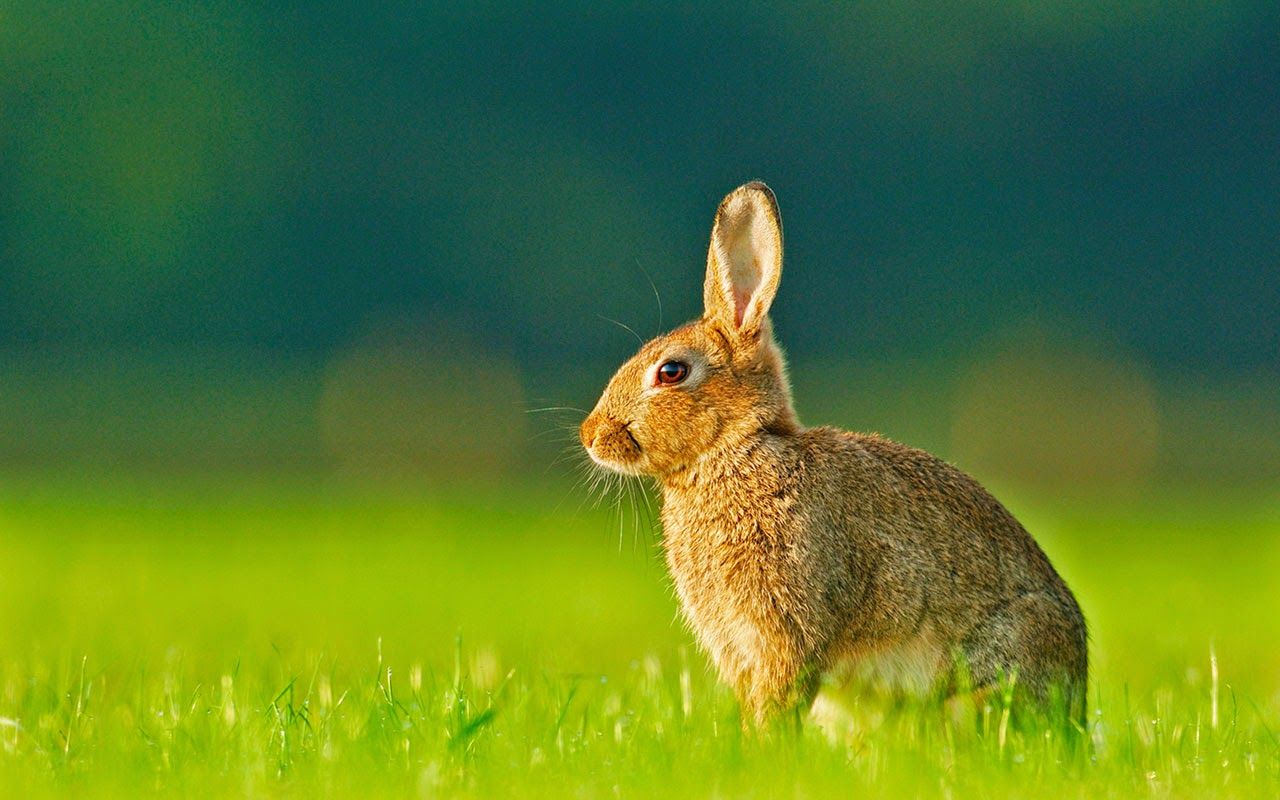 Beautiful Rabbits Pictures Free Download Loveable House Pets For Rabbits Images Free Download Cute And Funny Rabbits Pretty Animals Beautiful Rabbit Animals