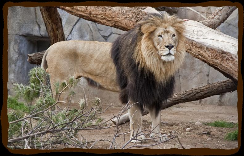 African Lion San Diego Zoo Kids Animals San Diego Zoo Lion