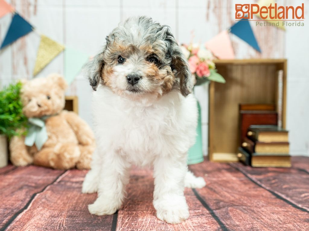 Petland Florida Has Mini Aussiedoodle Puppies For Sale Check Out All Our Available Puppies Miniaussiedoodle Puppy Doglov In 2020 Puppy Friends Cute Dogs Puppies