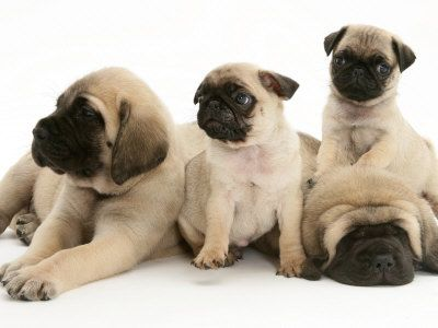 Pug Puppies With English Mastiff Puppies I Want Them All With
