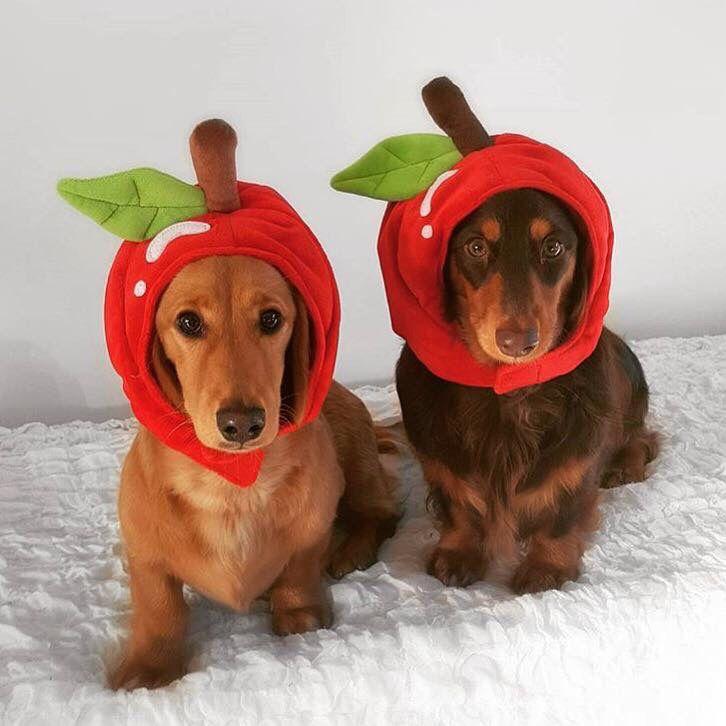 Apple Dumplings Dachshund Love Super Cute Animals Weenie Dogs