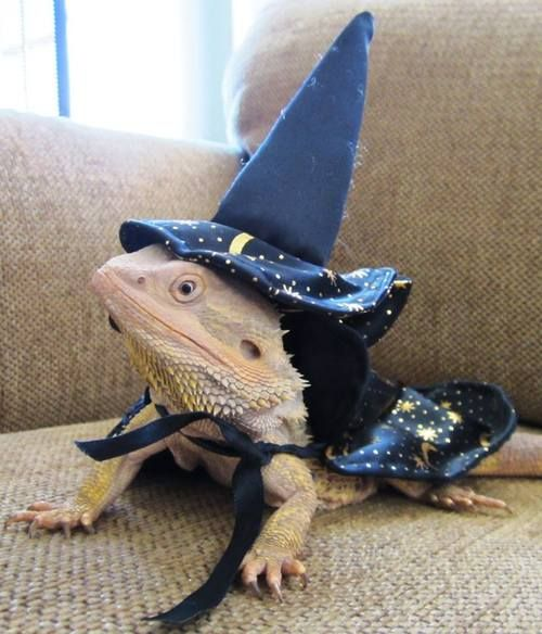 Cute Reptiles Days Ago 249 Tags Cute Reptile Lizard Bearded Dragon