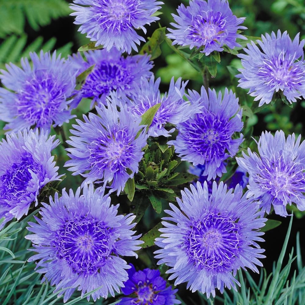 Stokesia Laevis Blue Star Perennials All Perennials By Name