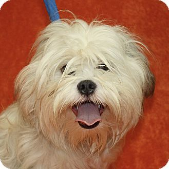 12/9/16 Jackson, MI Havanese Mix. Meet Raphael, a dog