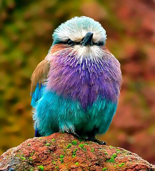 Lilac breasted roller by Steve Wilson