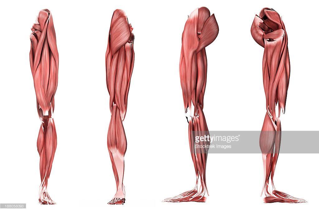 ストックイラストレーション : Medical illustration of human leg ...