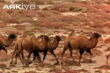 Herd of wild Bactrian camels trotting then galloping
