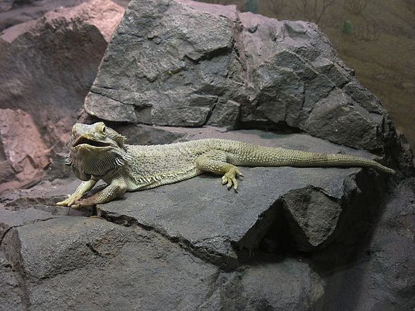 5 Great Beginner Pet Lizards Thinking Of Adding A Reptile To The Family Here S A Great Guide If You Re Considering A Pet Lizards Reptiles Pet Bearded Dragon