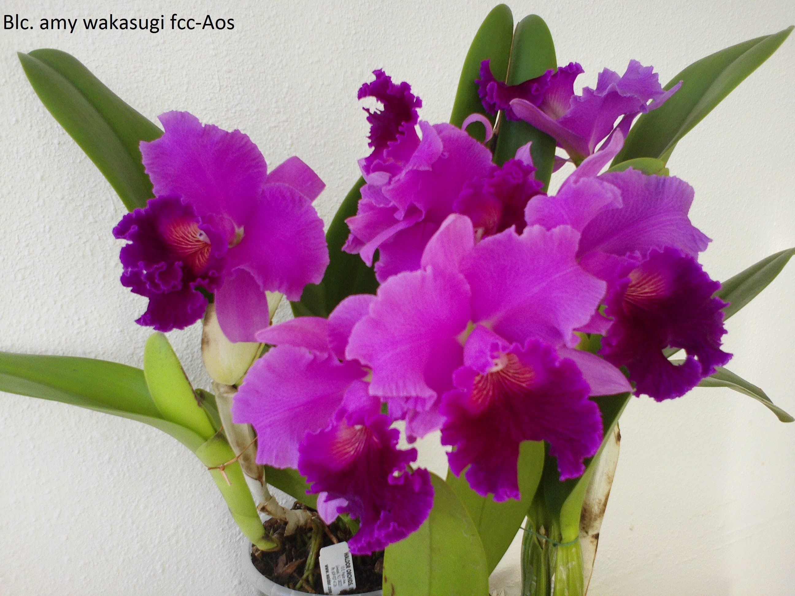 Beautiful Orchids 3 Chinese Peony Bonsai Orchids With Relaxation Music Youtube Beautiful Orchids Orchids Cattleya