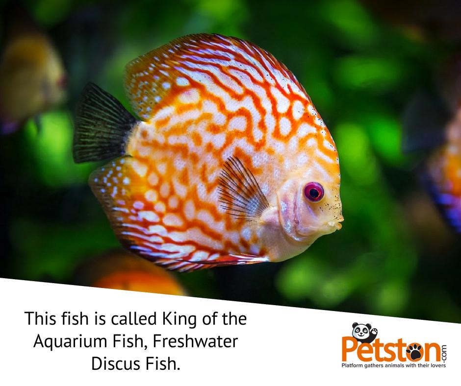 Fact About Fish The Fish Is Called King Of The Aquarium Fish Freshwater Discus Fish Petston Pets Animal Beautiful Fish Discus Fish Salt Water Fishing