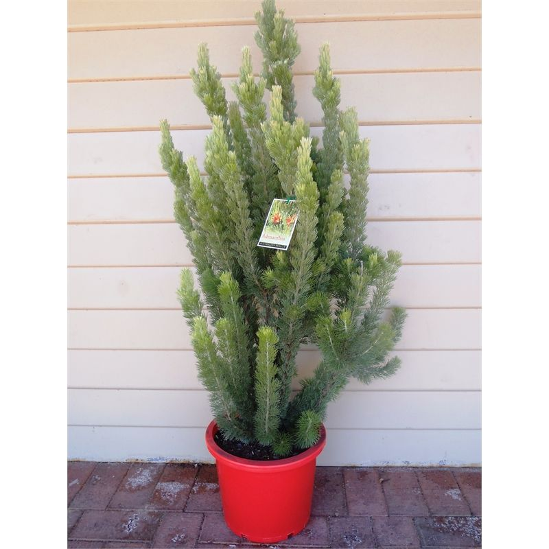 Find 305mm Adenanthos Sericeus Albany Woollybush At Bunnings Warehouse Visit Your Local Store For The Widest Range Native Garden Back Gardens Backyard Garden
