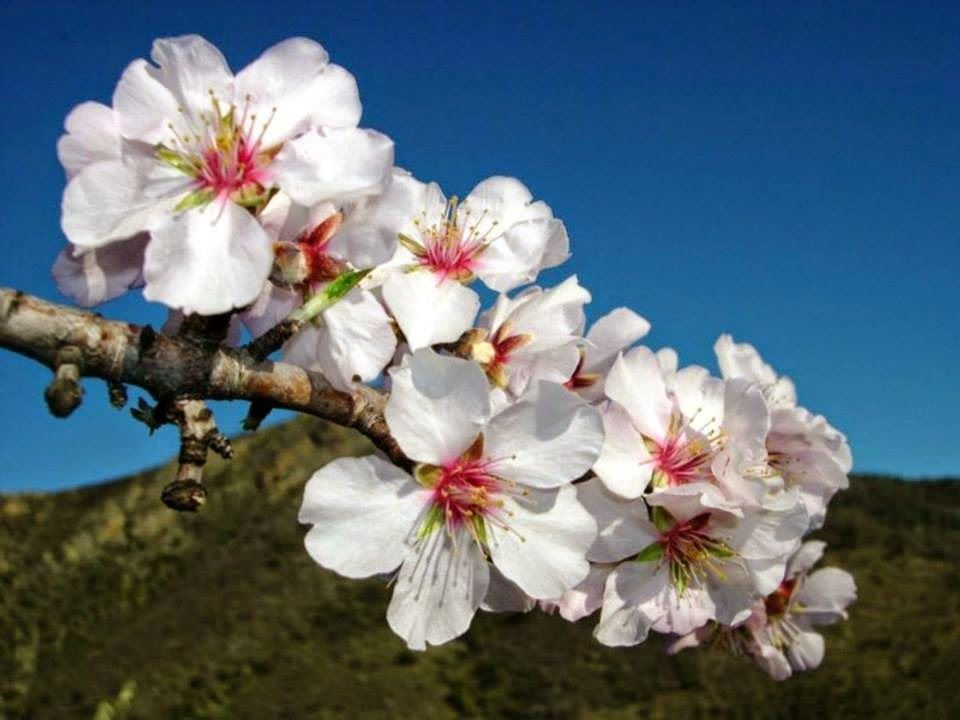 Cherry Blossoms Beautiful Flowers Pictures Flower Dictionary Flowers