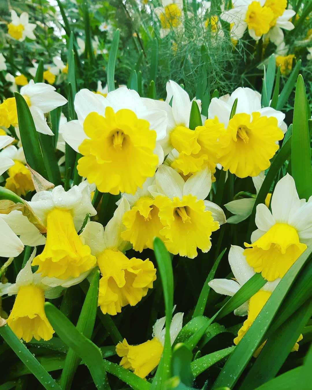 Narsis For N Narsis Atau Narcisccus Dikenal Juga Dengan Nama