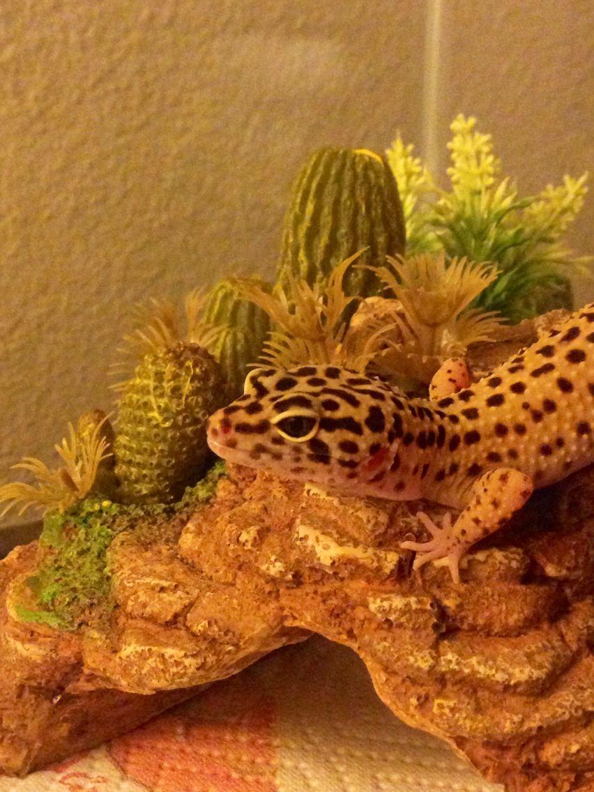 Leopard gecko chilling on hide bubba in pinterest