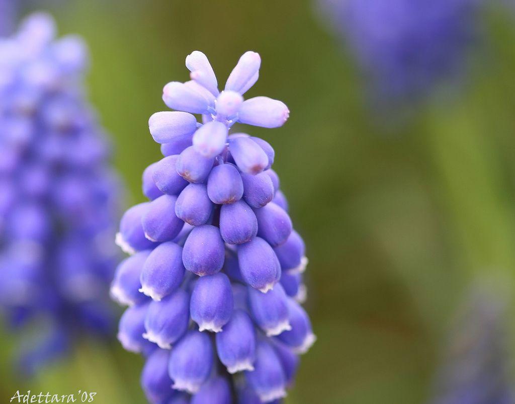 ~Grape Hyacinth~