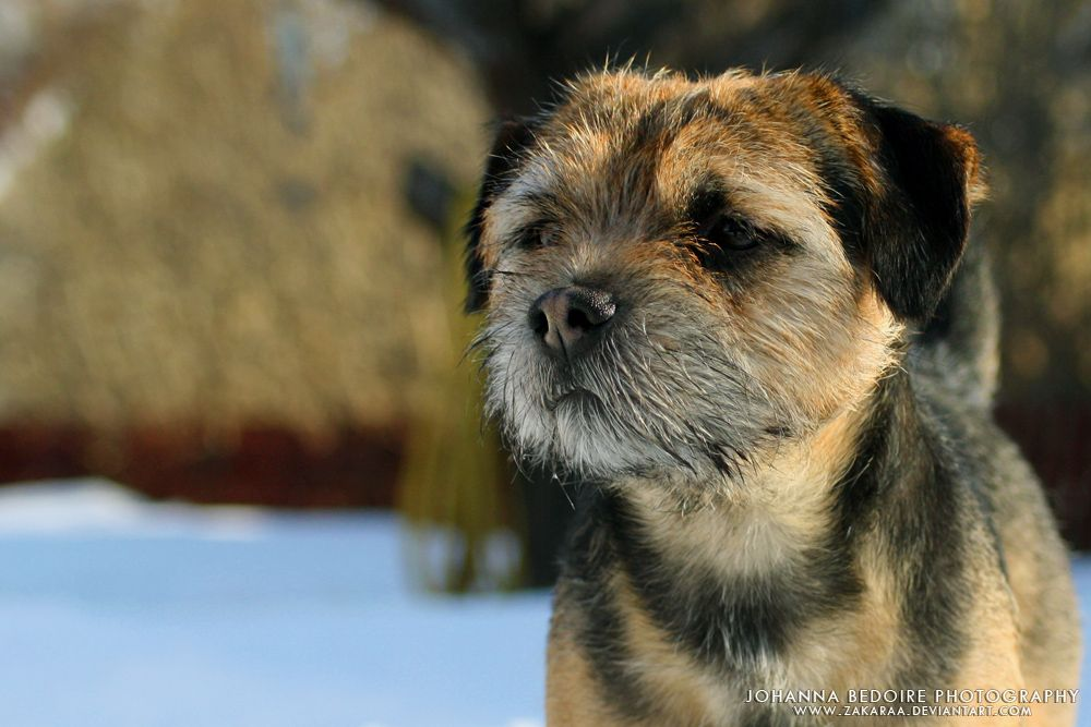 Bozze The Border Terrier By Zakaraa On Deviantart Border