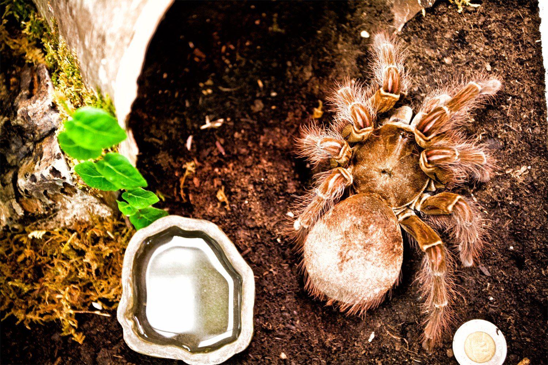 A Goliath Bird Eating Tarantula In Her New Home She Will