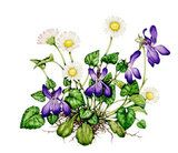 Watercolour illustration of common dog-violet (Viola riviniana) and daisy (Bellis perennis)