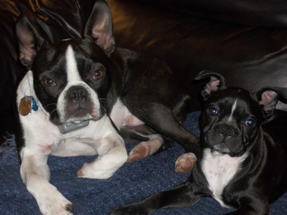 Howard And Webster Are Best Buds Forever Boston Terrier Boston