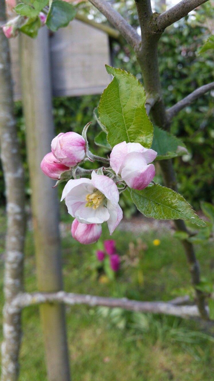 Bloei van onze appelboom