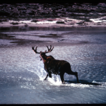 """Moose, Denali National Park, Alaska,"" by K. Chambers, AMNH Digital Special Collections."