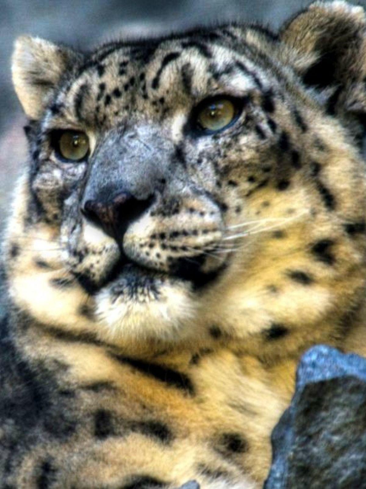Top Ten Biggest Cats Big Cats Wild Cats Large Cat Breeds
