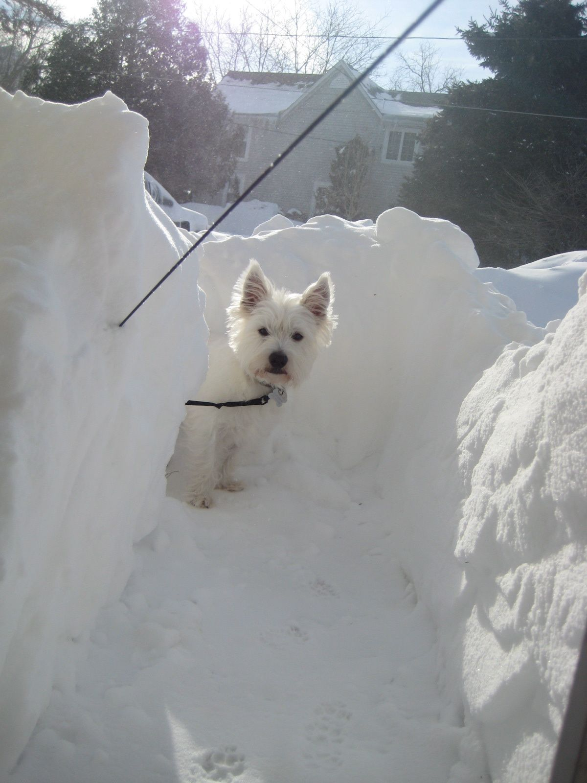 To Much Snow Mom Westie Westie Dogs Pets West Highland White Terrier