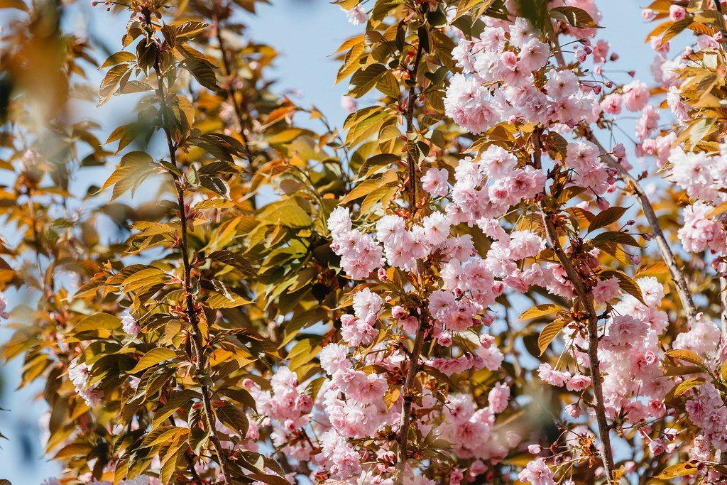Cherry Blossom 3 Blossom Cherry Tree Cherry Blossom